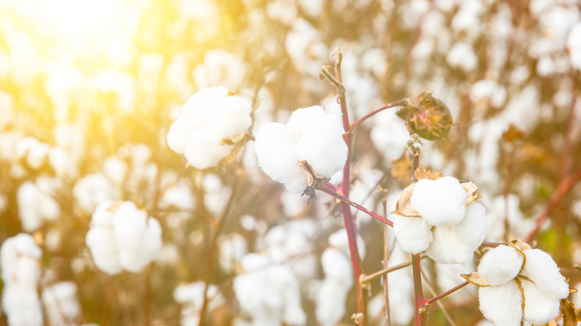 甄选新疆优质长绒棉,满足挑剔的触肤体验